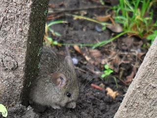 Мышь прячется от опасностей