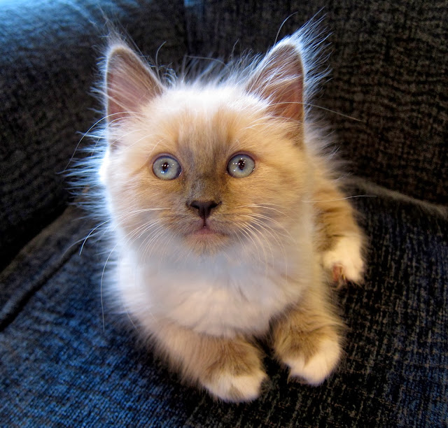 Ragdoll Kitten by jurvetson from flickr (CC-BY)
