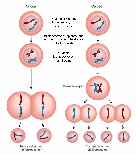processen med sædceller