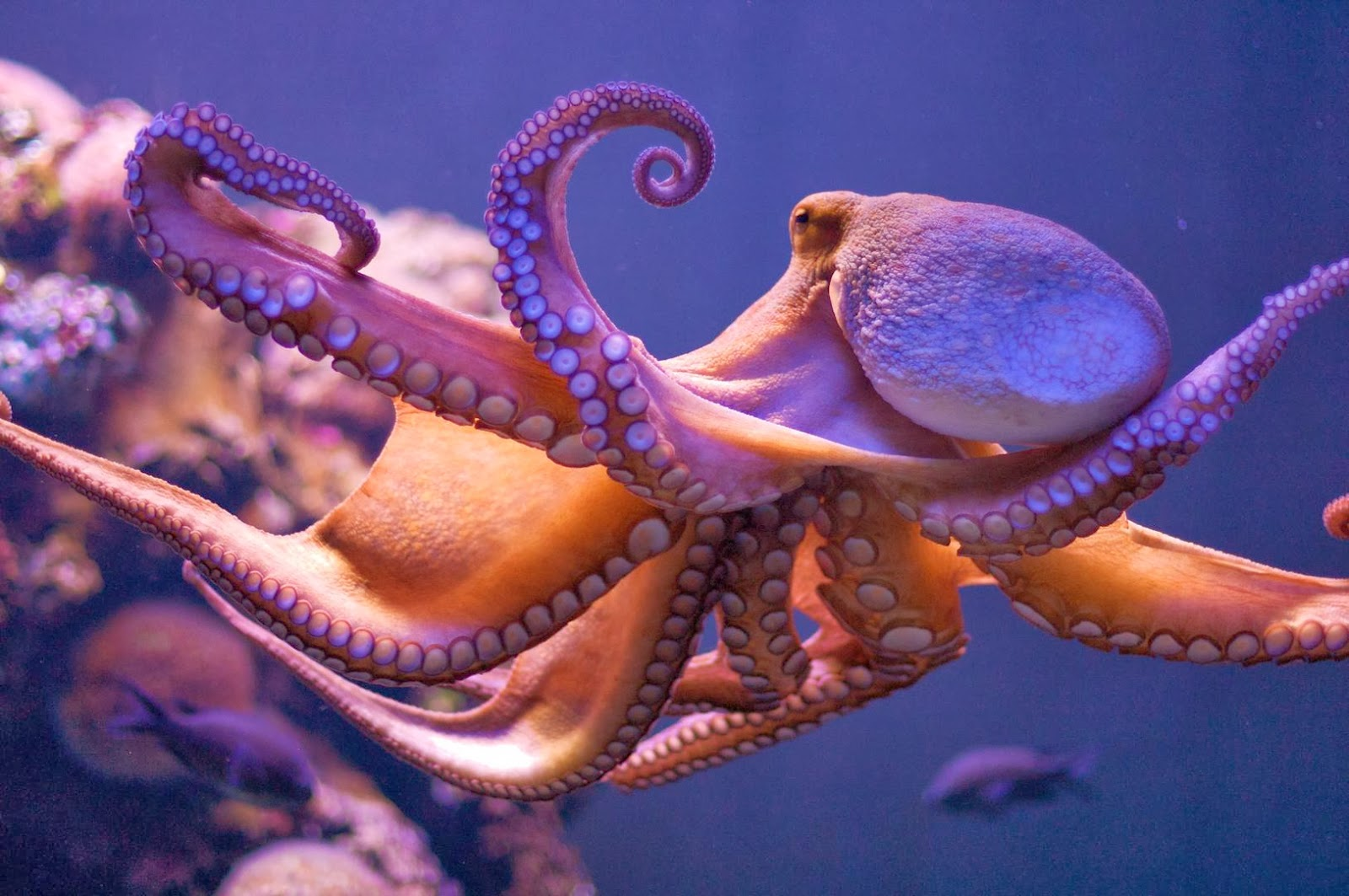 real octopus wallpaper - photo #13