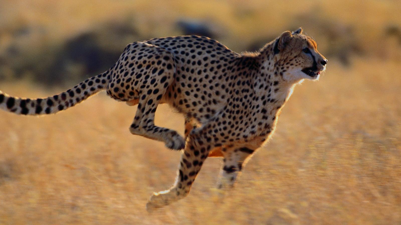 http://3.bp.blogspot.com/-s9SRdL_EWrA/UKdLQ9HBN6I/AAAAAAAAN8E/3m5XYTvZuJ0/s1600/Cheetah+(3).jpg