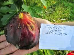 genovese nero fig