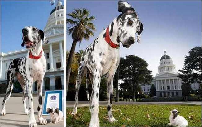 Anjing Tertinggi Bertemu Dengan Anjing Terpendek