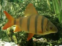 All About Aquarium Fish: Rare and Exotic Distichodus Fish