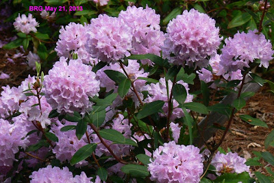 Lilac flowers in snowball shape, mauve lilac color.