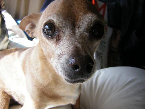 Prednisone For Dogs Cancer