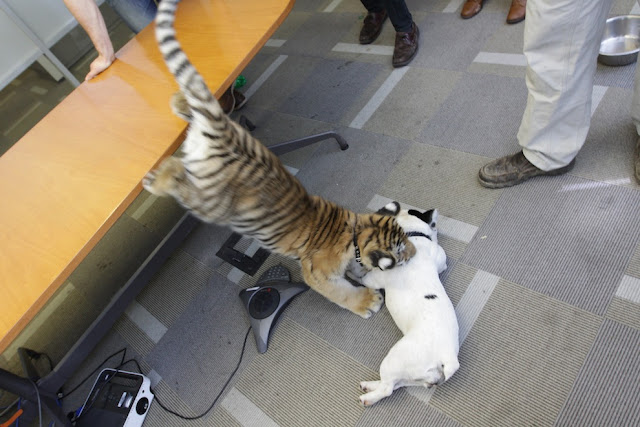 funny animal pictures, cute animals, tiger cub play with dog, baby tiger and french bulldog, cute baby animal pictures, cute baby tiger pictures, bengal tiger cub, french bulldog