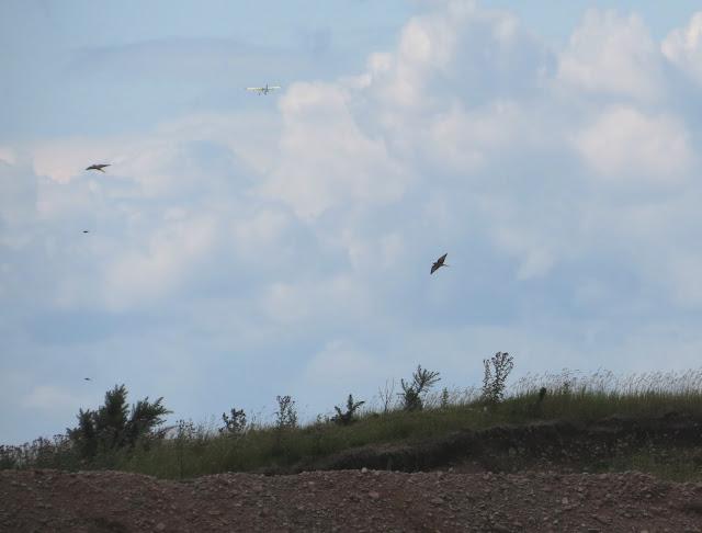 Bee-eater - Cumbria