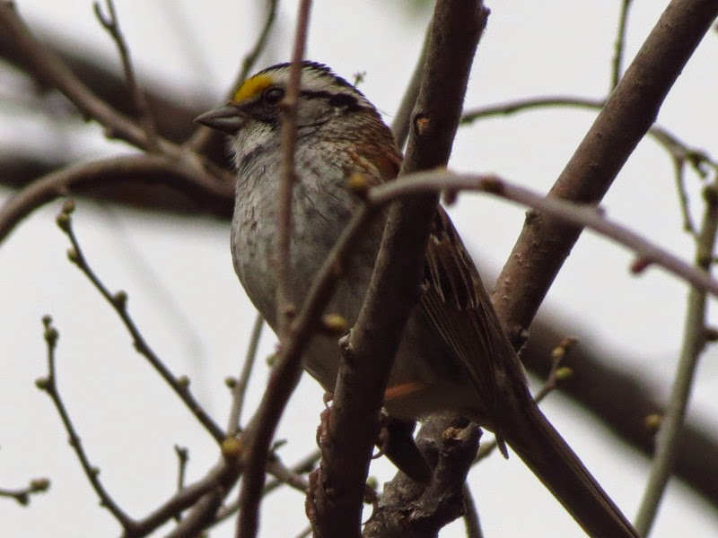 white throated sparrow still here