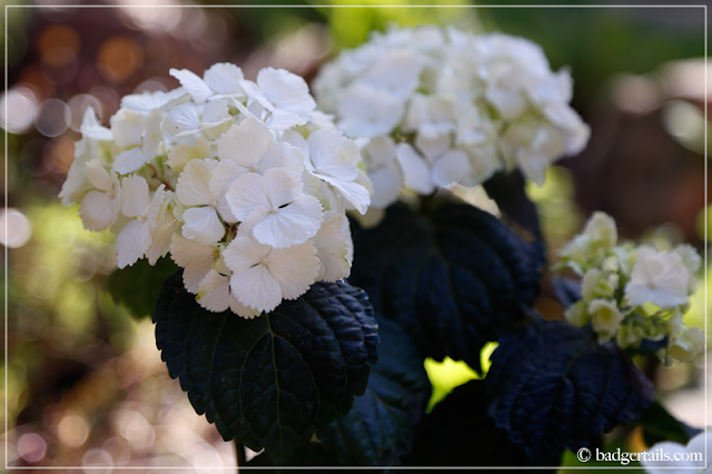 White Hydrangea Flowers