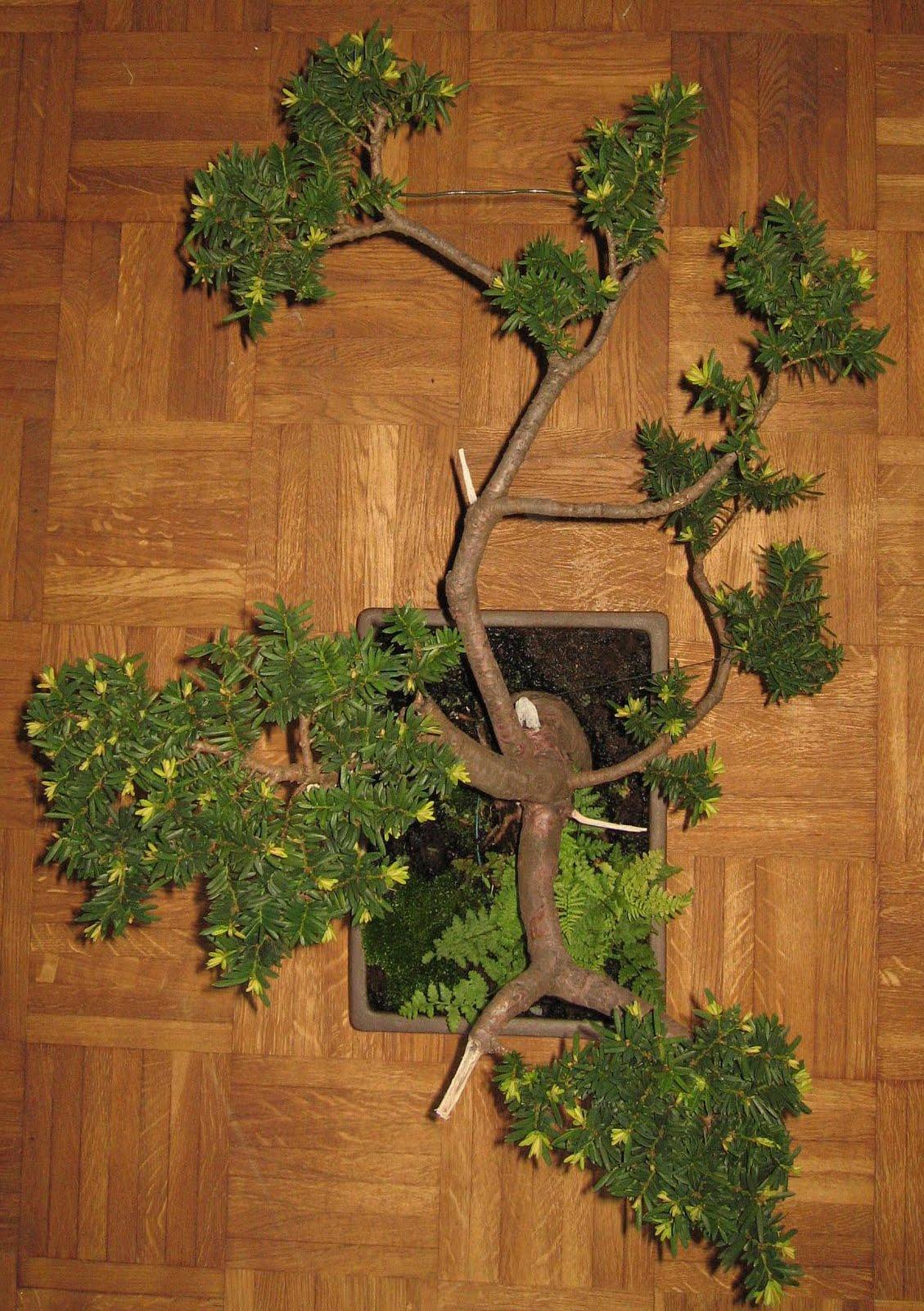 bonsai das sch nste hobby der welt taxus baccata was ist aus ihm geworden. Black Bedroom Furniture Sets. Home Design Ideas