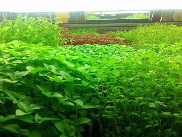 Basilic thai et livèche au stade 2 à 4 feuilles en avant plan dans table inondante (hydroponique)