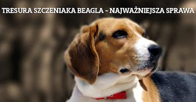 szkolenie psów beagle