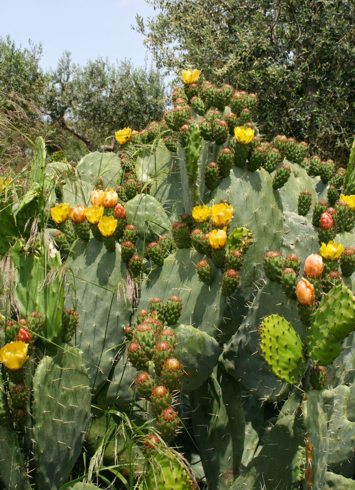 Prickly pear cactus opuntia ficus indica overview - Advantages of cactus plant ...