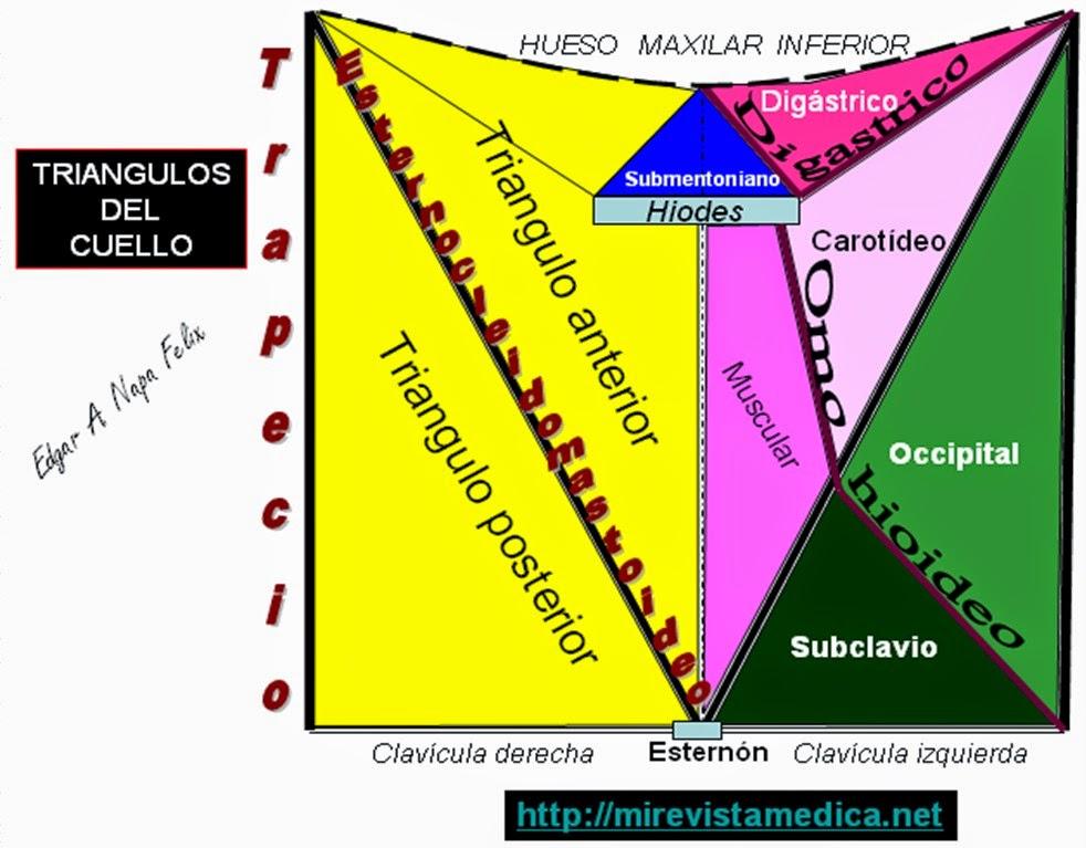 Morfofisiología I: CUELLO