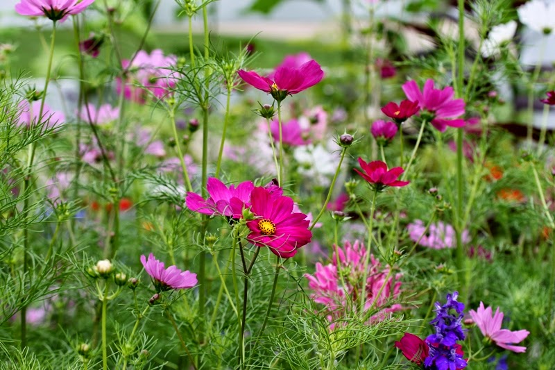 Cosmos and cleome in the gardens at Seed Savers Exchange, Decorah, Iowa