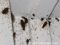 Cockroaches in corners