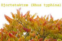 http://kolonihavelivet.blogspot.dk/2015/11/hjortetaktr-rhus-typhina.html