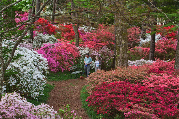 steve crain azaleas blooming