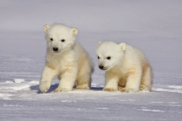 foto beruang kutub