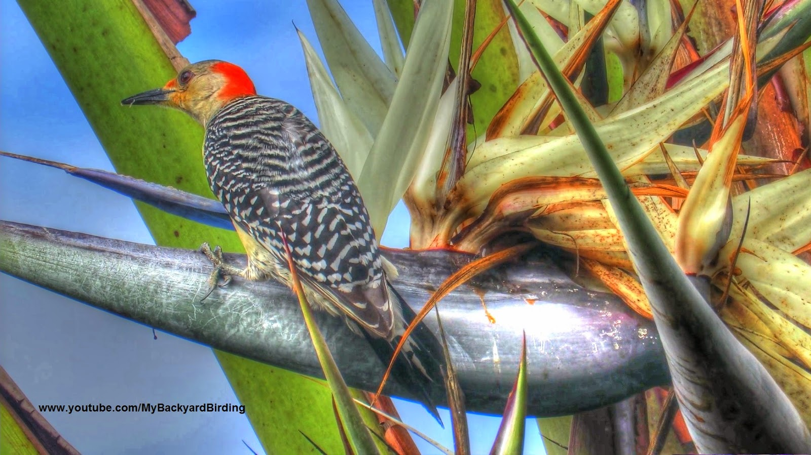 Red Bellied Woodpecker Eating Nectar of Giant White Bird of Paradise