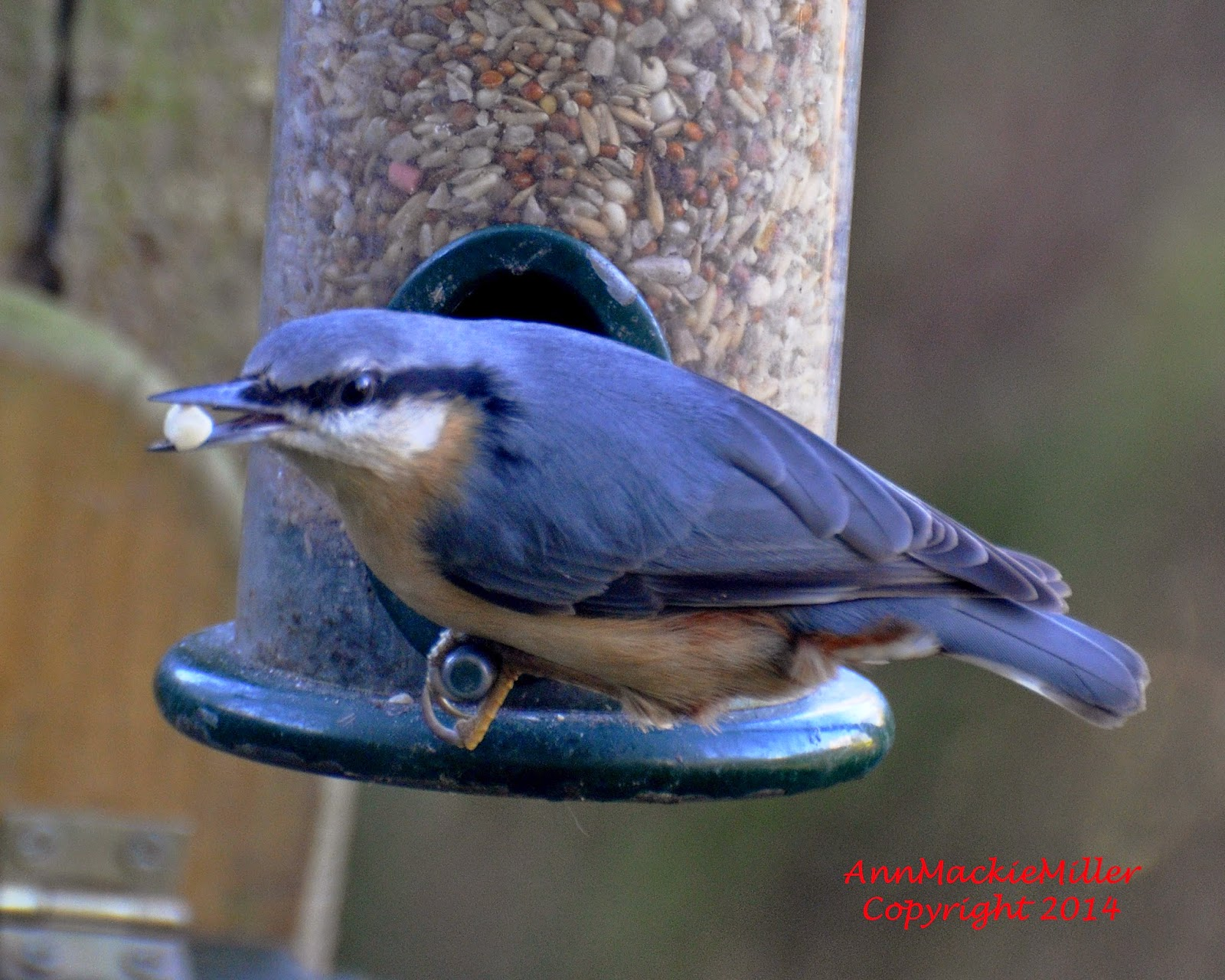 nuthatch on garden feeder with seed in its beak