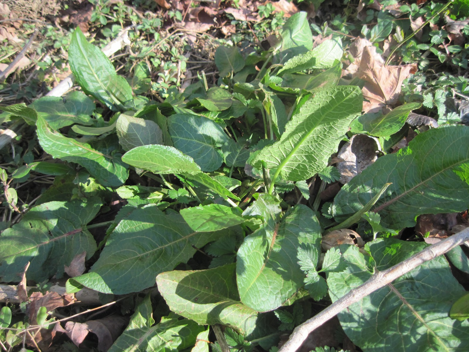 This Leafy Green Can Be Found In Shady Areas Of Yards And Along Tree Lines.  It Resembles Garden Greens With Itu0027s Large Oval Deep Green Leaves.