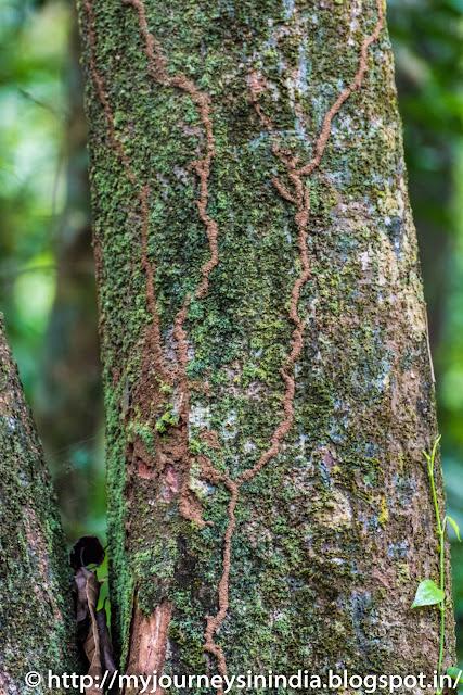Thattekad Tree Termites