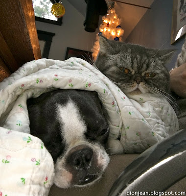Sinead the Boston terrier and Popoki the cat share a lap