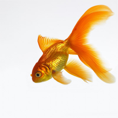 Mawson mark Goldfish