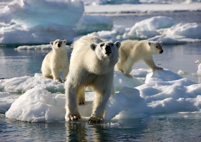 Polar bears from Frozen Planet