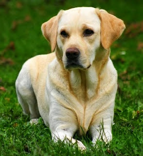 Why does Labrador Retriever got his name?