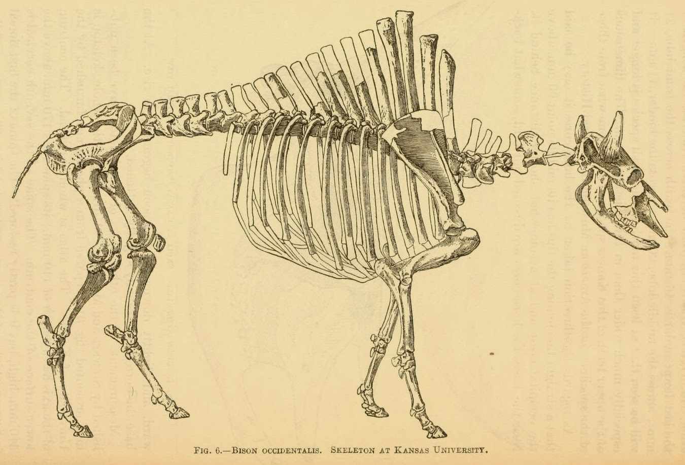 American bison anatomy