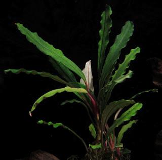 Картинки по запросу Bucephalandra sp. North Sanggau