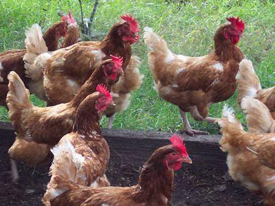 contoh ayam petelur