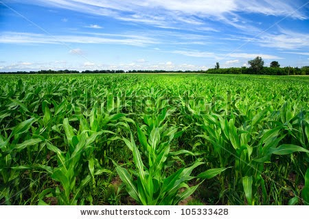 Green corn field (Credit: Shutterstock) Click to enlarge.