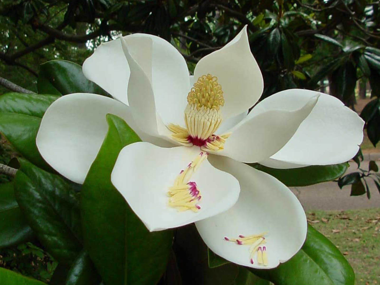 wallpaper: Southern Magnolia Flower Wallpapers: wallpaperstone.blogspot.com/2012/11/southern-magnolia-flower...
