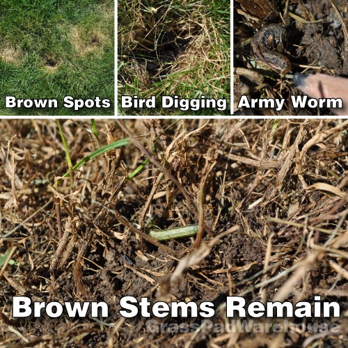 Armyworm signals in the lawn.