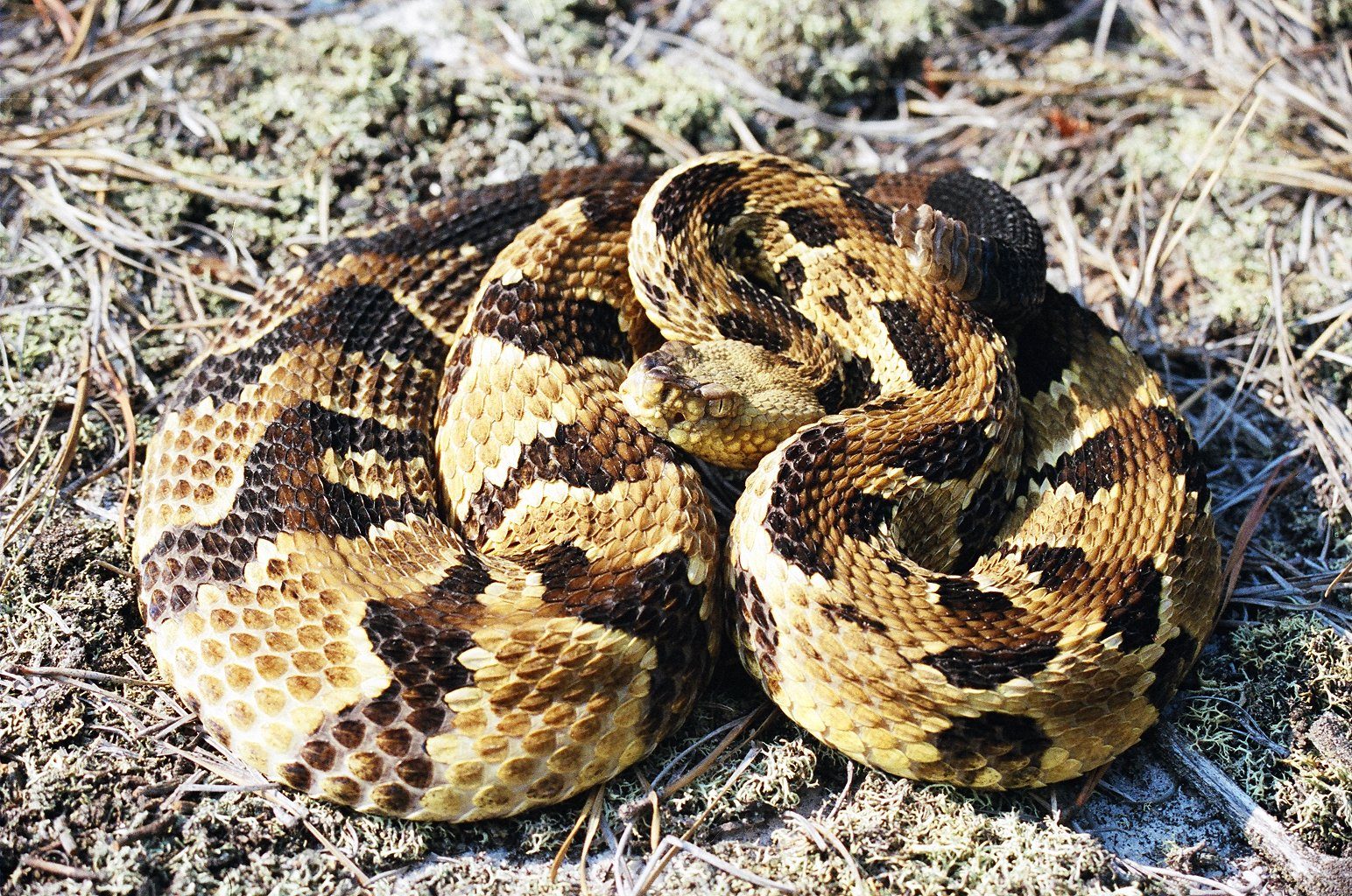 Venomous Snakes Of Florida Phillips Natural World - Poisonous snakes in mississippi