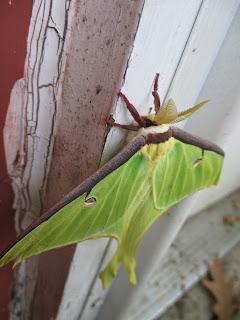 big green moth