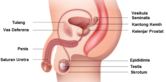 Pengertian, Fungsi dan Bagian Organ Reproduksi Laki-laki / Pria