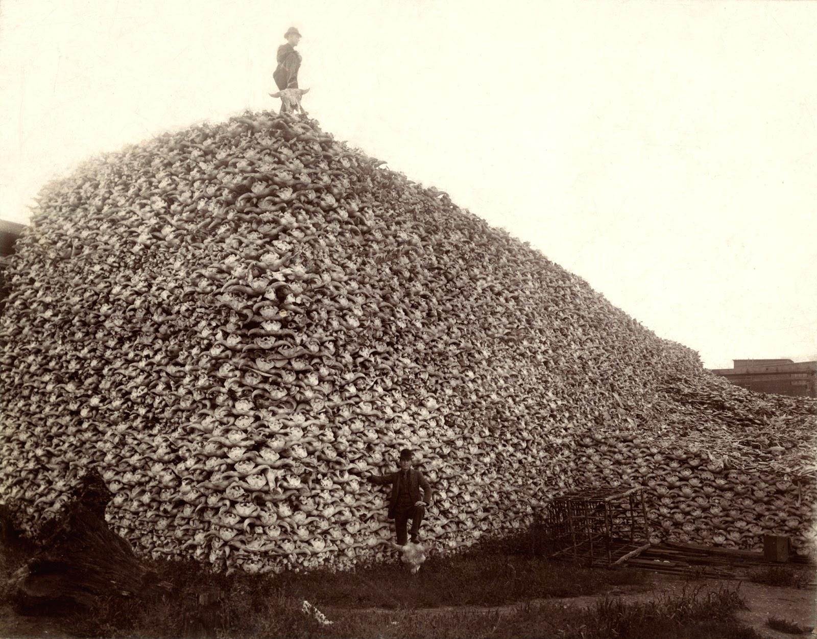 American bison skulls