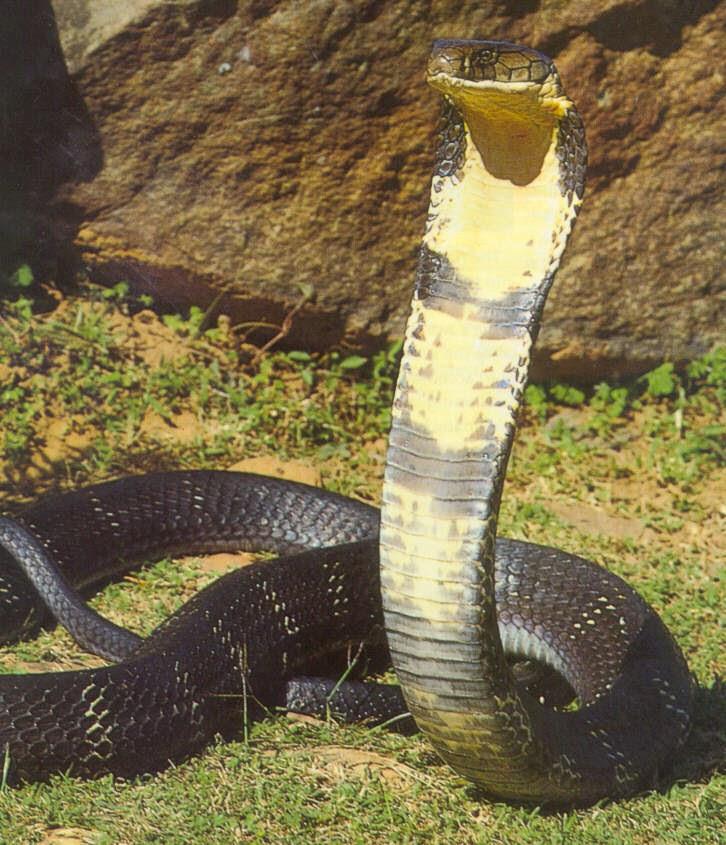 gambar ular