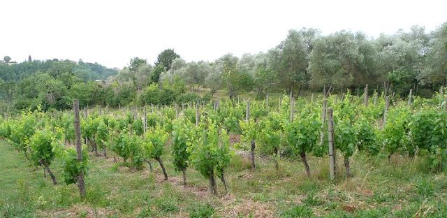 vigna vigneto filari Toscana