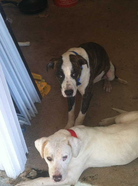 Two Lab mixes abandoned in foreclosed home