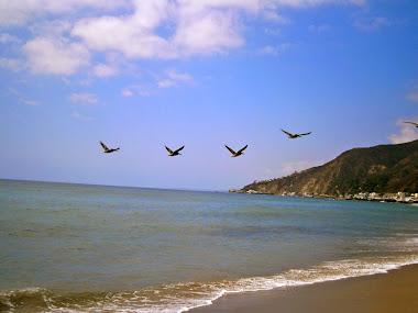 pelicans flyng over Topanga beach