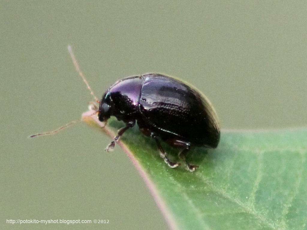 Leaf Beetle Black Shiny Leaf Beetl...