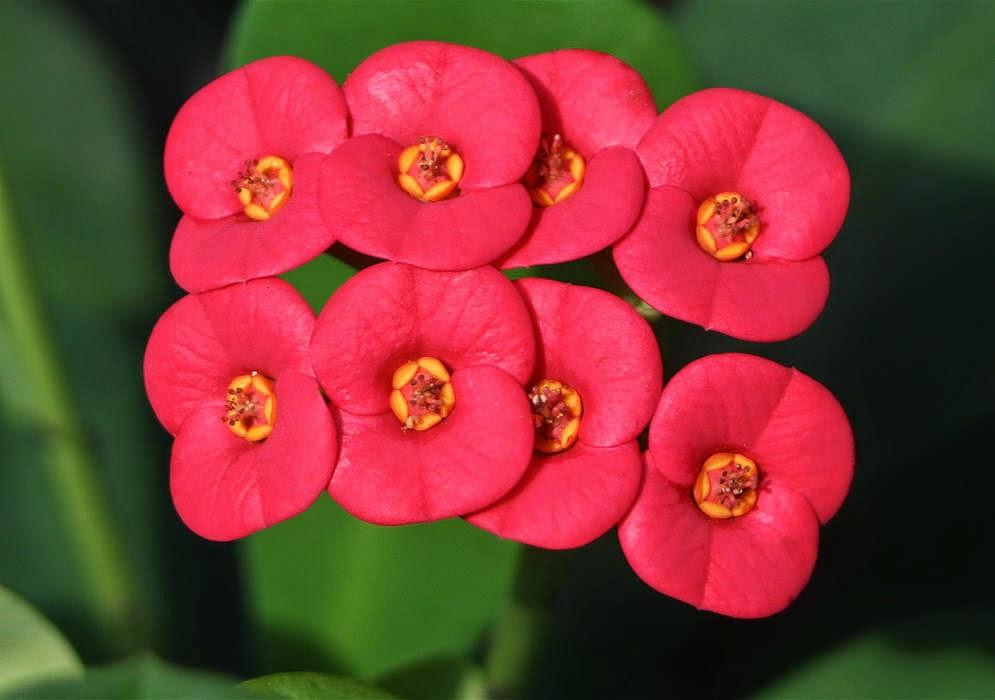 Jenis tanaman hias euphorbia