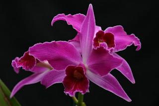 laelia purpurata orchid