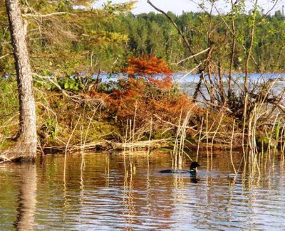 Red Lake loon by shore